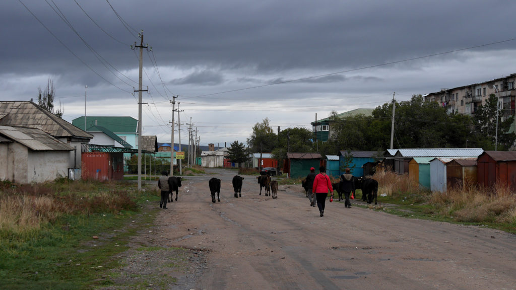 A herd of cows is a typical sight on the streets of Karakol