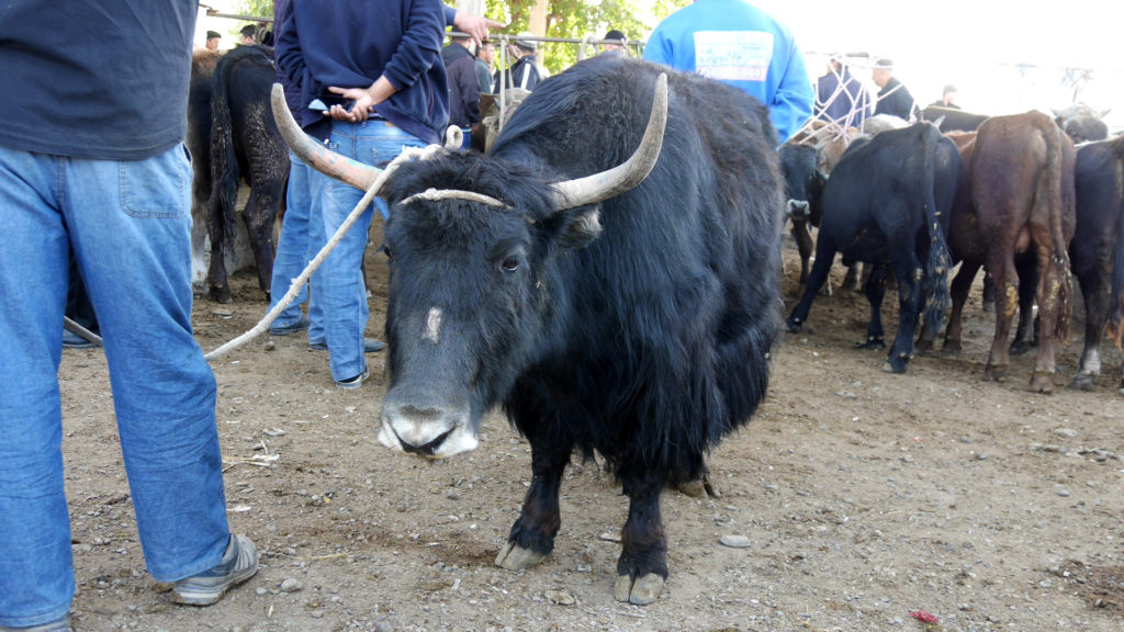 We would have liked to adopt this yak