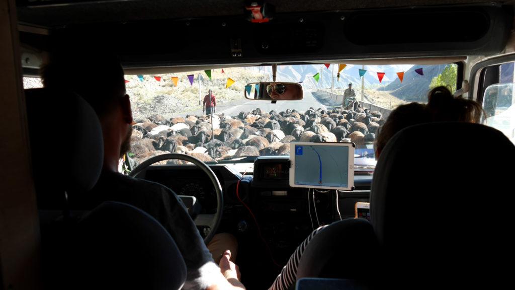Tjerk on the wheel, goats on the road