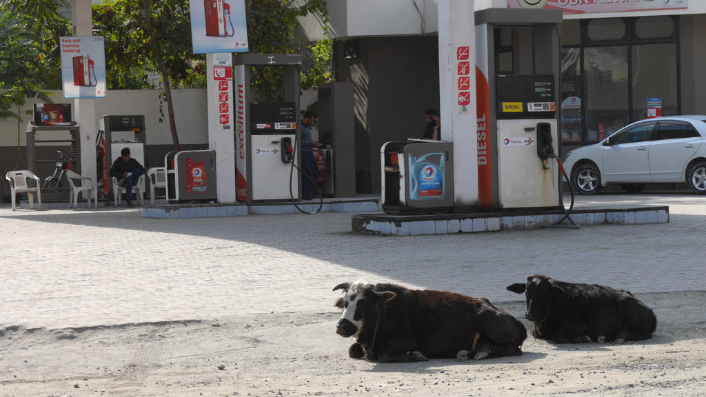 Cows chilling at the gas station