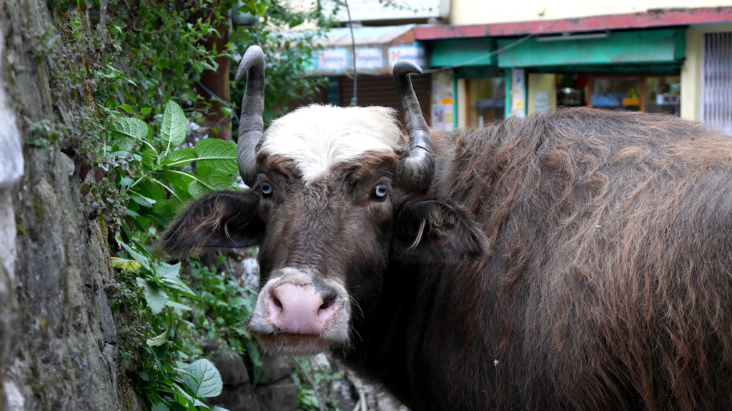 This gorgeous buffalo/yak/husky also lives in Mcleod Ganj