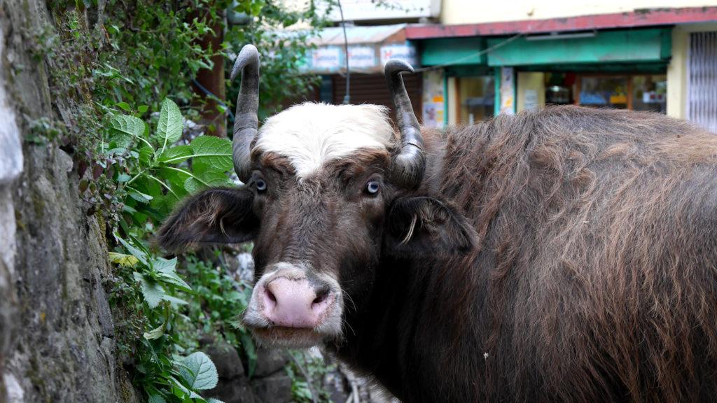Dieser Büffel/Yak/Husky lebt auch in Mcleod Ganj