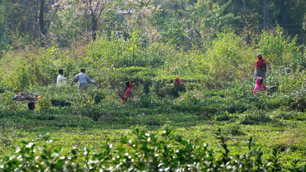 Palampur tea field