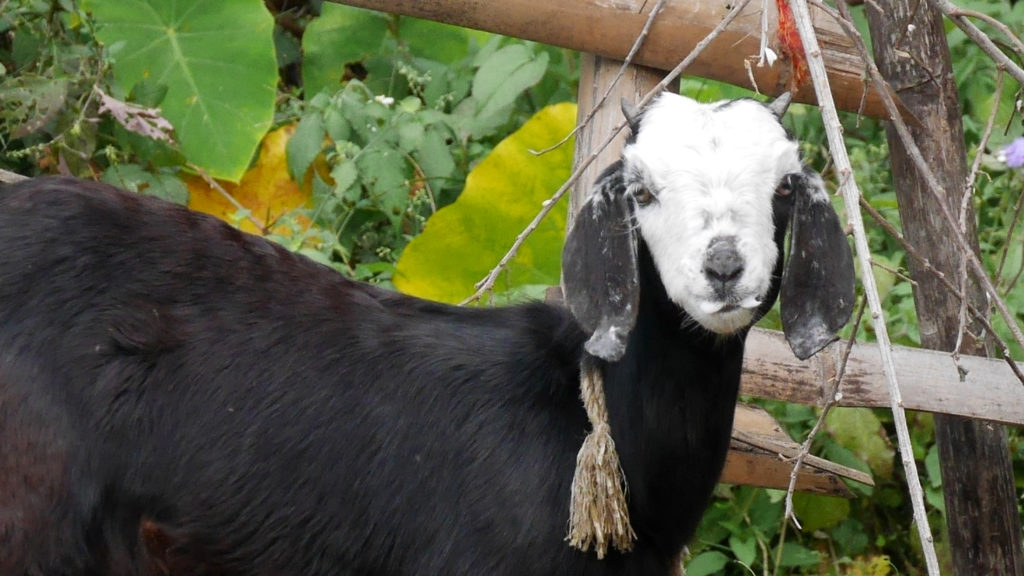 This goat had a cool skull face