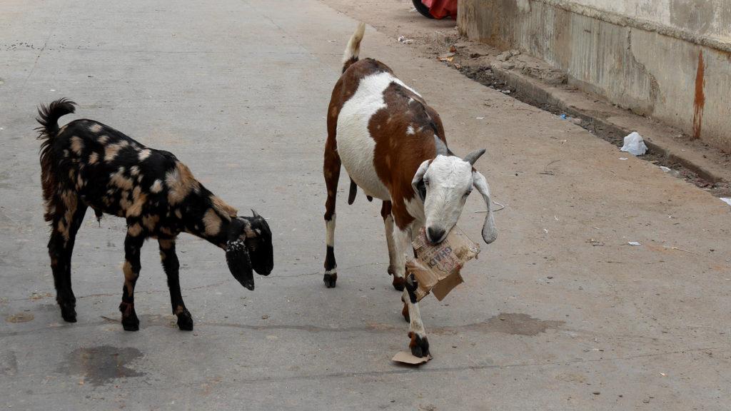 Some trash eating goats