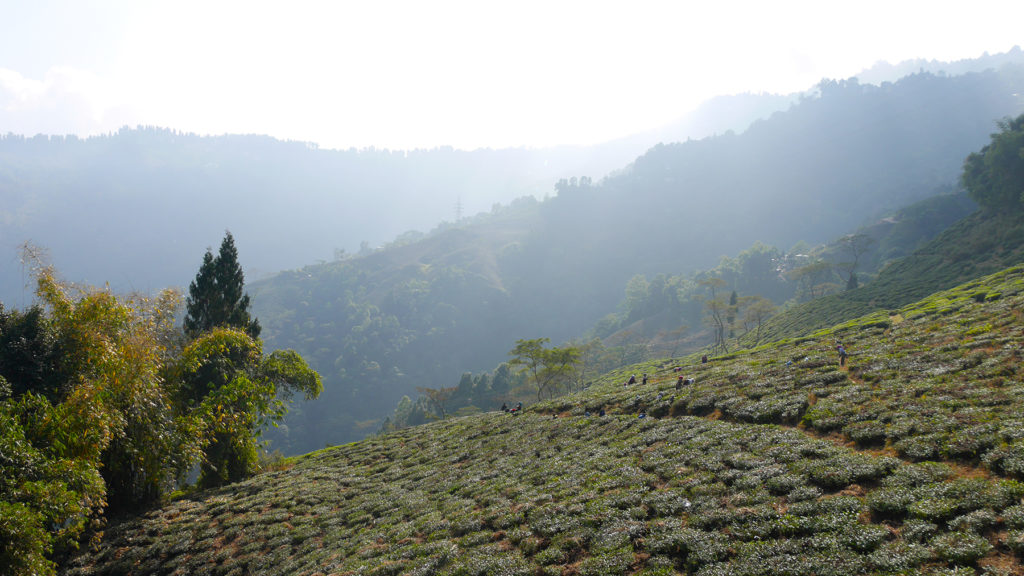 The views over the endless tea gardens