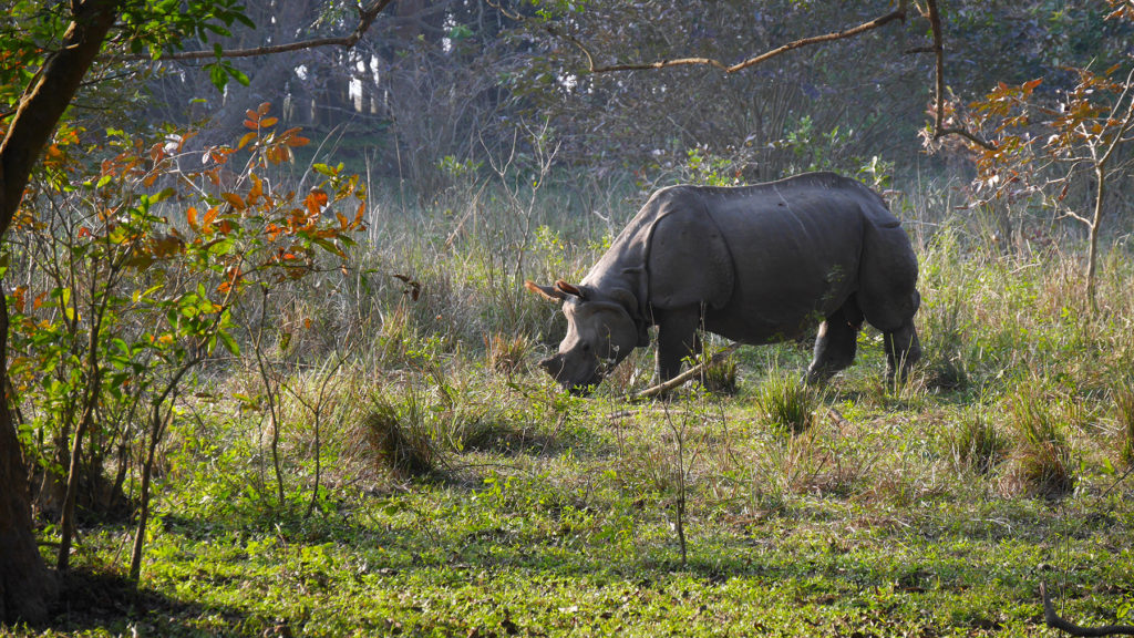 One of the rhinos we saw in Pobitora