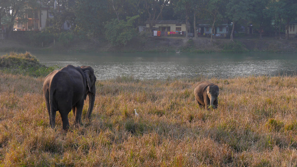 These elephants were unfortunately not wild, as they had chains around their ankles