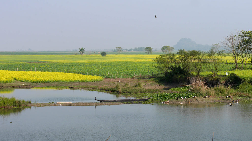 Mustard fields on the way